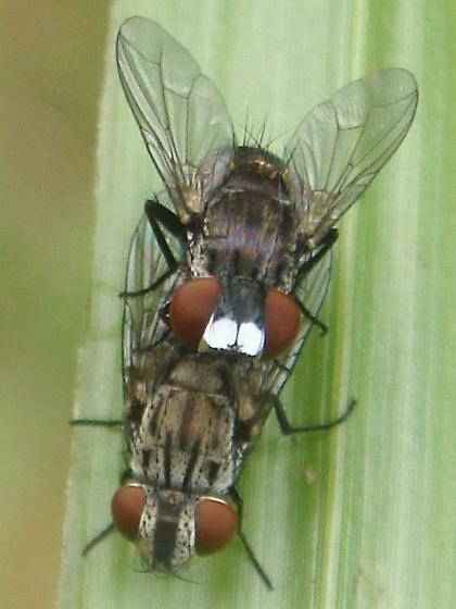 Mating Flies - Metopia argyrocephala - male - female