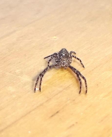Running Crab Spider. ? - Tmarus