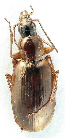 brown Carabid - Agonum lutulentum