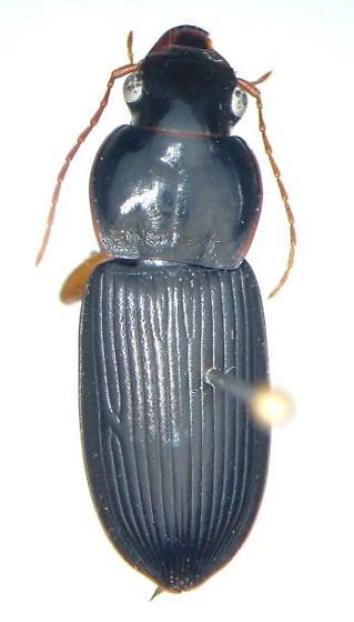 Harpalus longicollis - Harpalus vagans - male