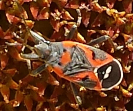 Bug - Lygaeus kalmii