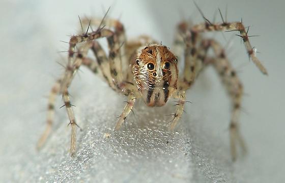 Lynx Spider - Oxyopes acleistus