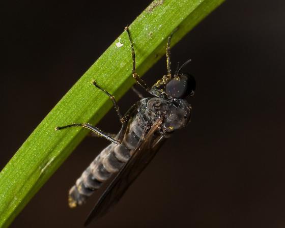 Axymyia - Axymyia furcata