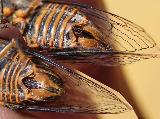 Buffalo cicada - Okanagana bella - female