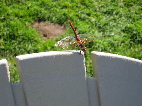 Unknown Dragonfly - Sympetrum madidum