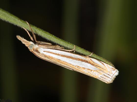 Snout Moth - Crambus laqueatellus
