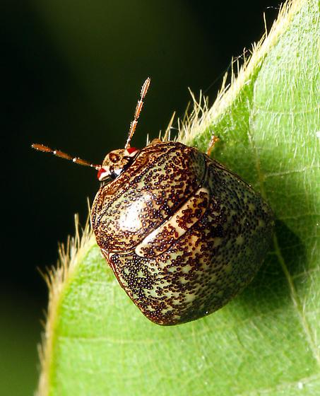 Pentatomidae nymph - Megacopta cribraria