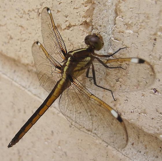 Black and Yellow Dragonfly - Libellula cyanea - male