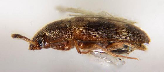 Hairy Fungus Beetle? - Litargus balteatus