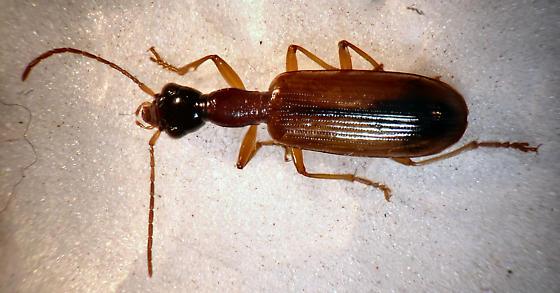 Carabid? - Leptotrachelus dorsalis
