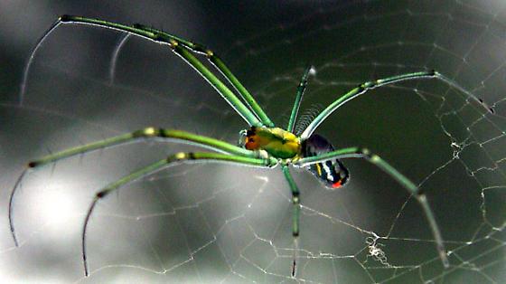 Greenish spider? - Leucauge venusta
