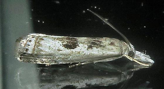 Microcrambus minor