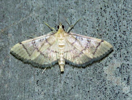 Hollow-spotted Blepharomastix  - Blepharomastix ranalis