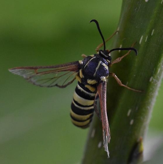 Hornet or Yellow Jacket Mimic Moth - Sesia spartani