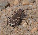 Bronzed Tiger Beetle? - Cicindela