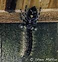 Bold Jumping Spider? - Phidippus audax