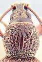 Beetle - Otiorhynchus ovatus