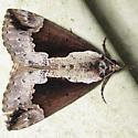 Baltimore Bomolocha - Hodges#8442 - Hypena baltimoralis