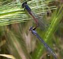 Western Red Damsels - Amphiagrion abbreviatum - male - female