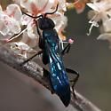 Twitchy blue-black wasp on buckwheat - Aporus hirsutus