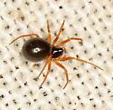 spider #27 voucher image - Entelecara acuminata - female