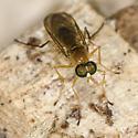 Orthorrhapha ? - Ptecticus trivittatus