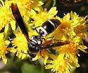 Wasp - Pseudodynerus quadrisectus