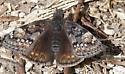 Lepidopteran - Erynnis juvenalis