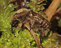 Scarabaeidae (Bumble Flower Beetle), lateral - Euphoria inda