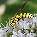 Bee Wolf - Philanthus multimaculatus