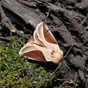 Tan and Brown Moth - Prolimacodes badia