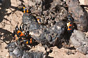 Nicrophorus beetles on scat - Nicrophorus marginatus