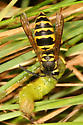 Eastern Yellowjacket eating a caterpillar - Vespula maculifrons
