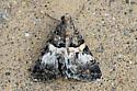 Moth ID? - Drasteria