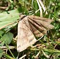 Another moth - Caenurgina