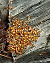 Lady Bugs - Hippodamia convergens