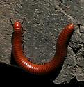 Dilopoda - Orthoporus ornatus
