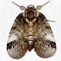 Moth - Baileya acadiana