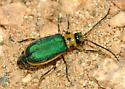 Green beetle - Trirhabda flavolimbata