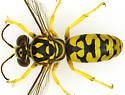 Female, Steniolia eremica? - female