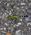 BioBlitz Bug 19 - Erythemis simplicicollis - male