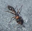 hymenoptera - Pseudomyrmex gracilis