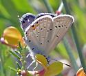 Eastern Tailed Blue...? - Cupido comyntas