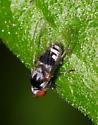 Fly ID - Polyporivora polypori - female