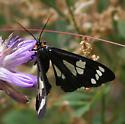 Alypia ridingsii or Androloma maccullochii - Gnophaela latipennis - female