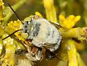 Apidae--Centris? - Centris rhodopus