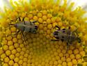 Geraeus penicillus - male - female