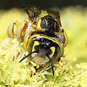 Trachusa (Heteranthidium) larreae on Honey Mesquite 1 May 2008 Sentenac Cienega, ABDSP, CA - Trachusa larreae - female
