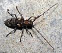 Pine Sawyer - Monochamus carolinensis - female