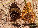 Butterflies - male - female